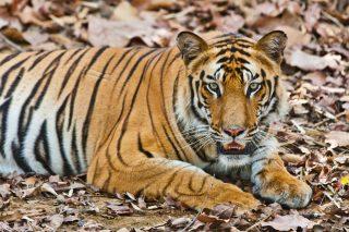 tiger via shutterstock