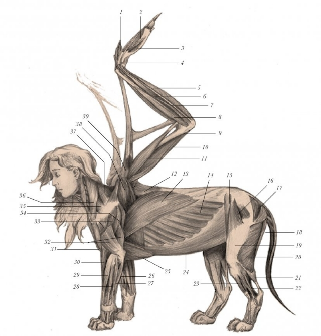 sphinx muscles