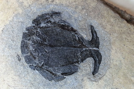 antiarch-fossil-male
