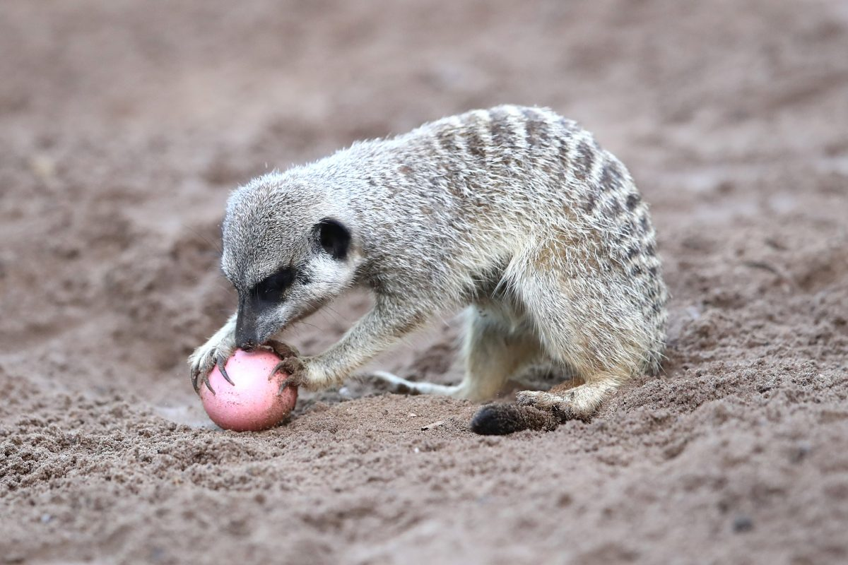 A Meerkat plays with an Easter egg at Taronga Zoo on March 29, 2018 in Sydney, Australia.
