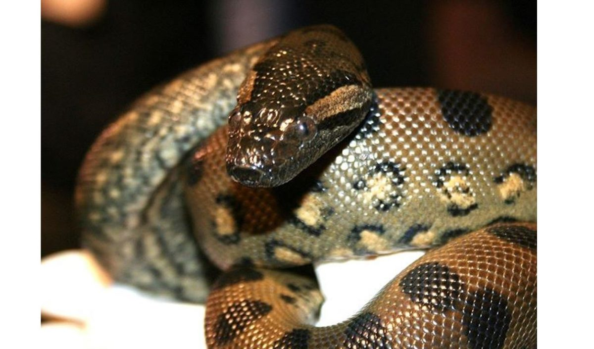 anna the anaconda gave birth without a man bc the matriarchy.
