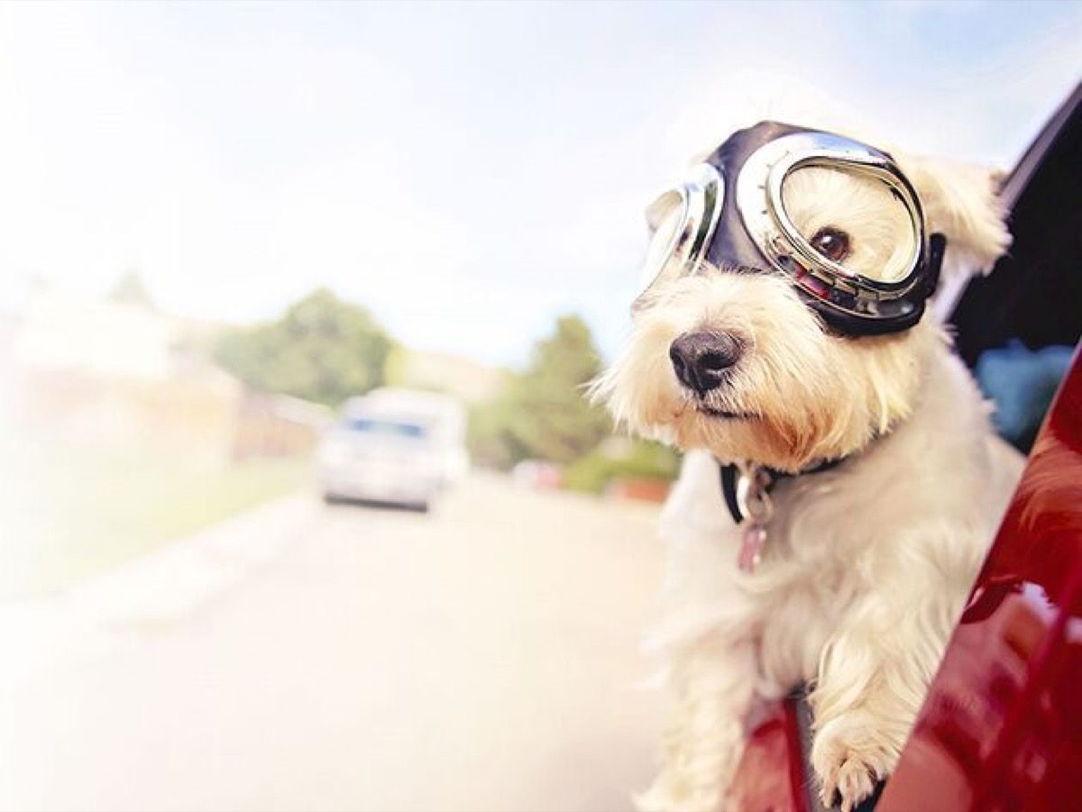 A dog wearing goggles hangs its head out of a car window.