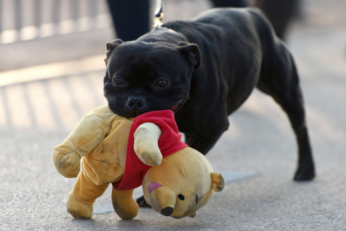 BIRMINGHAM, ENGLAND - MARCH 13: A Staffordshire Bull Terrier carrying a Winnie-the-Pooh toy in it's mouth arrives for the final day of Crufts 2016 on March 13, 2016 in Birmingham, England. First held in 1891, Crufts is said to be the largest show of its kind in the world, the annual four-day event, features thousands of dogs, with competitors travelling from countries across the globe to take part and vie for the coveted title of 'Best in Show'. (Photo by Ben Pruchnie/Getty Images)